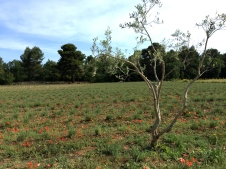 pre-bloom lavender field