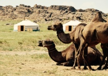 camels at the Gobi camp